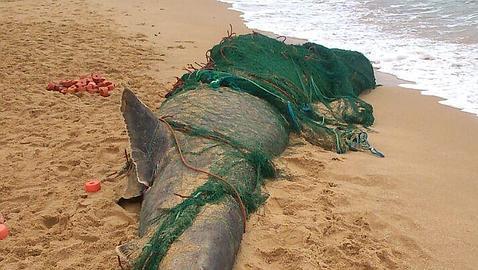 El tiburón ha quedado atrapado en una red