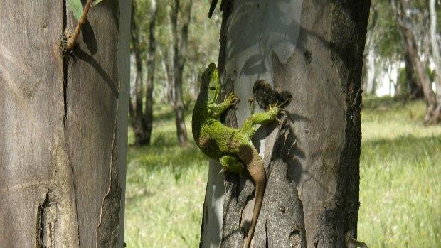 El lagarto ocelado es una de las especies que habitan en la zona/ABC