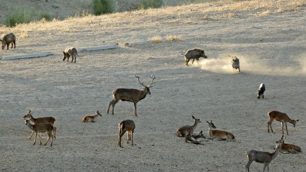Los «venaos» se cruzan entre los jabalíes en el parque de los Alcornocales