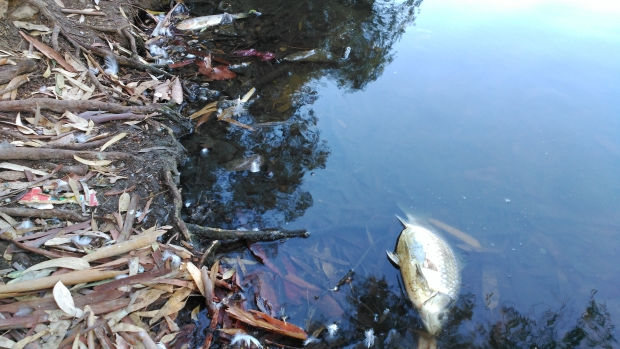 Los peces muertos son visibles en el tramo urbano del río