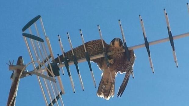 El halcón había quedado atrapado en una antena de televisión