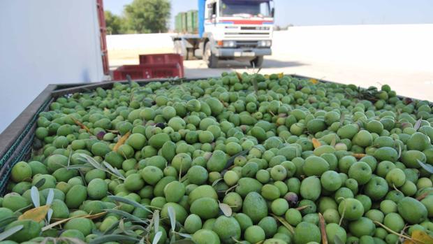 Utrera es uno de los centros nacionales de producción más importantes de aceituna gordal