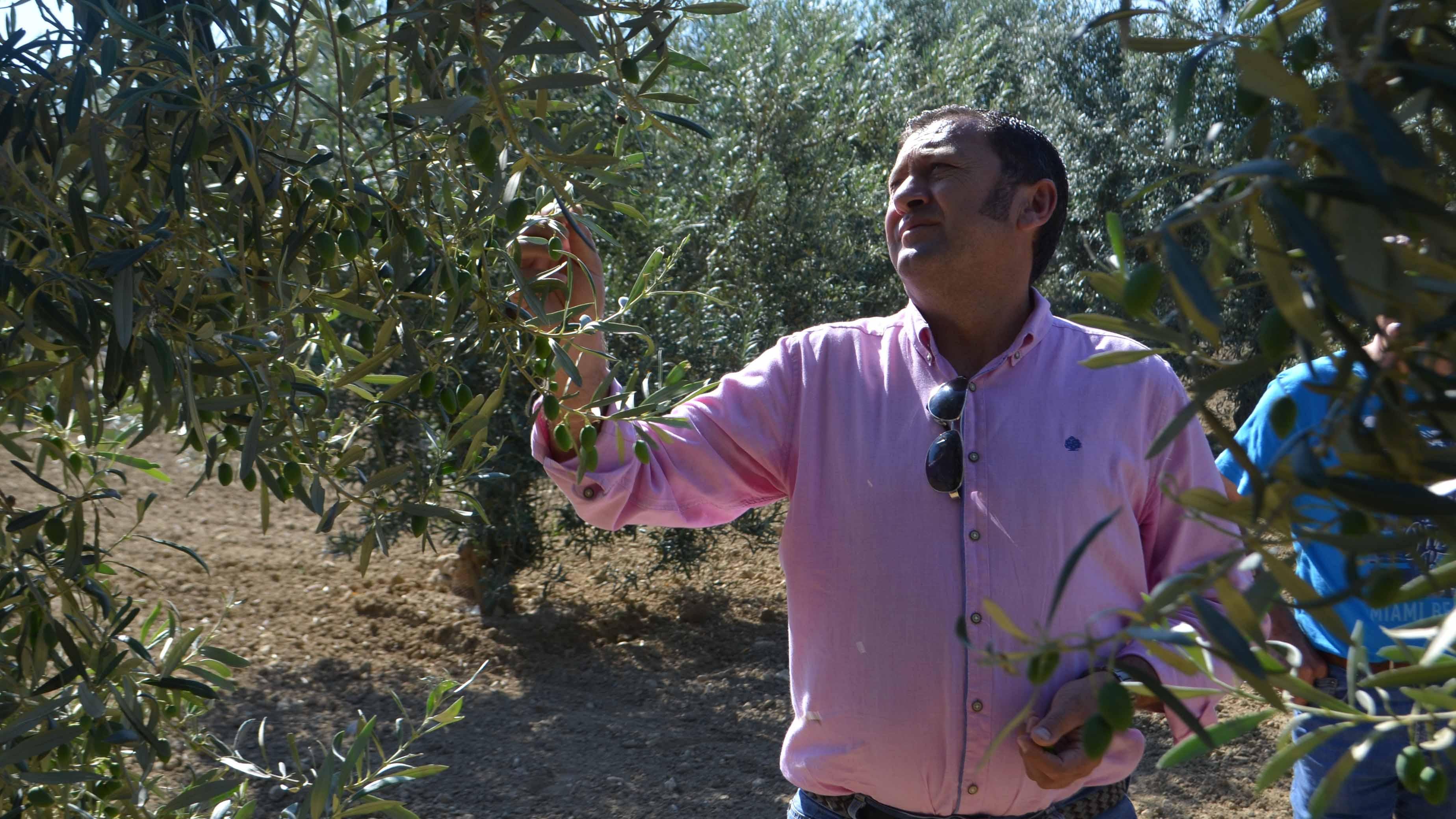 El olivar de Utrera se encuentra en la encrucijada de tener que reducir sus costes de producción