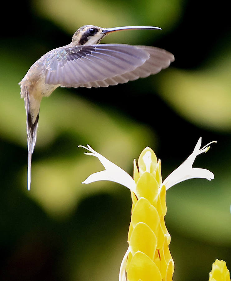 Colibríes: hermosas aves relacionadas con la fertilidad... y la guerra