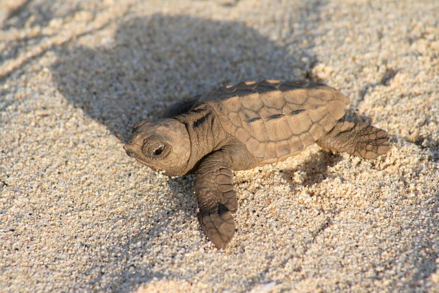 Tortugas: ¿Cómo responderán a un aumento de la temperatura?