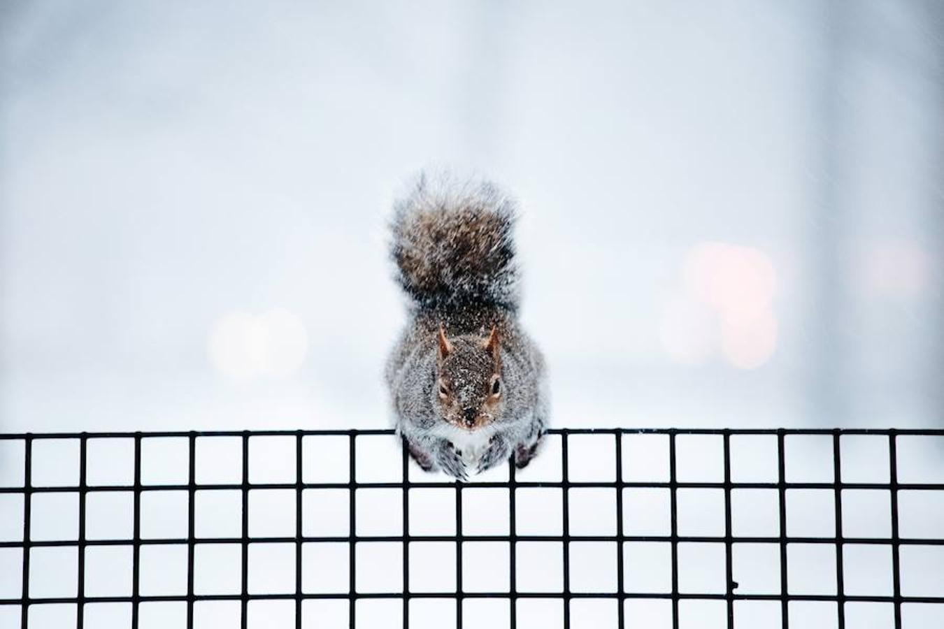 Una ardilla permanece en una valla del Battery Park, en Nueva York.