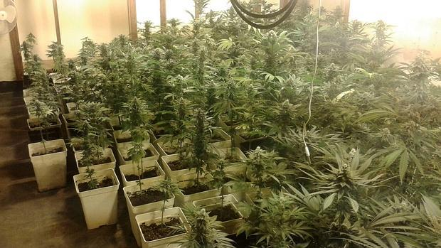 La marihuana que se cultiva en casas de Sotogrande
