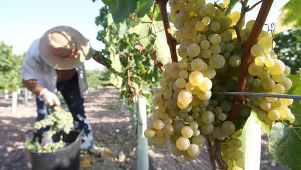 Un trabajador recogiendo uva en Montilla