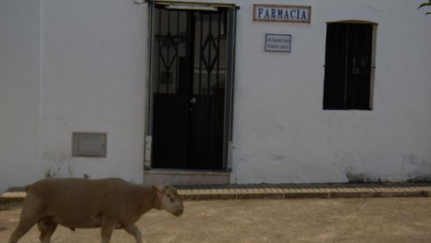 Un rebaño de ovejas pasasa delante de unafarmacia rural