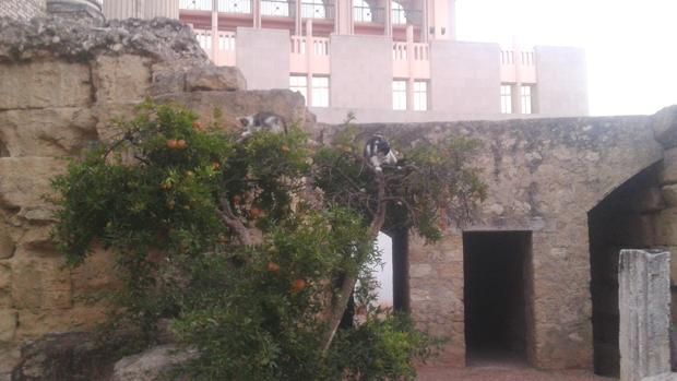 Gatos en el Templo Romano de Córdoba