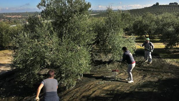 Un grupo de trabajadores varea olivos, uno de los árboles estudiados