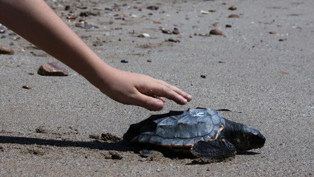 Una tortuga boba es soltada en la playa de Almería