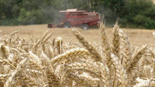 Una cosechadora recolectando trigo