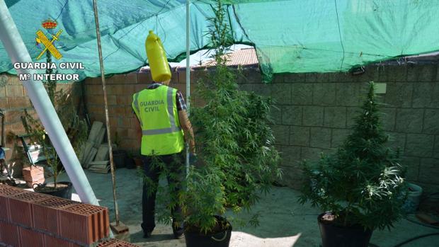 Plantación de marihuana encontrada en Adamuz