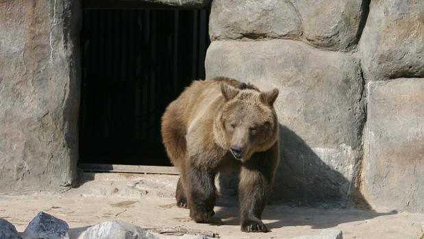 Un oso pardo en el zoo de Córdoba