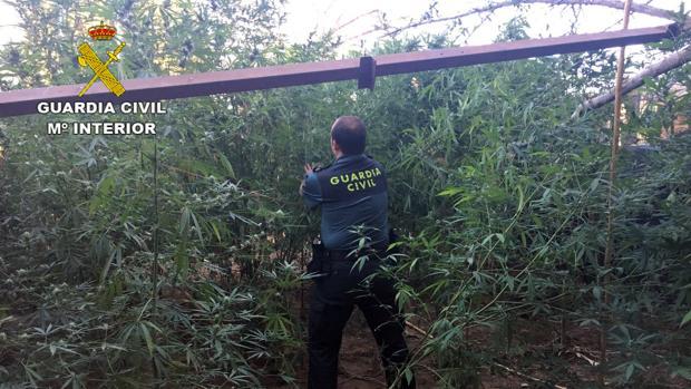 Plantación de marihuana hallada en la localidad de Almodóvar del Río