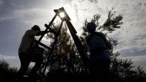 Dos trabajadores recojen las aceitunas en un olivar