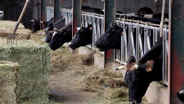 Vacas en una explotación ganadera
