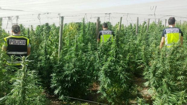 La Policía desmantela un invernadero de droga en Alcolea