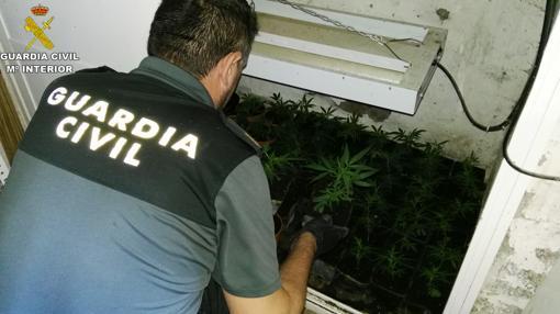 Parte de las plantas que se localizaron en Lucena y La Carlota