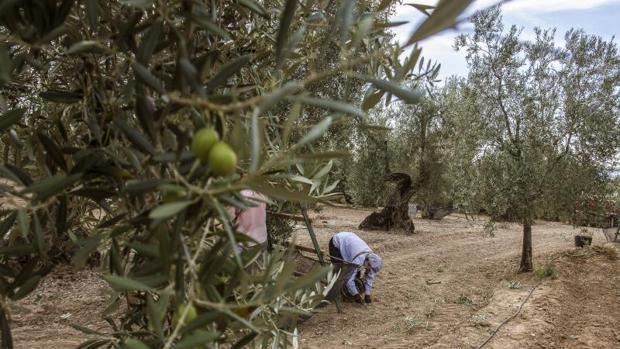 Una mujer recoge aceitunas del suelo