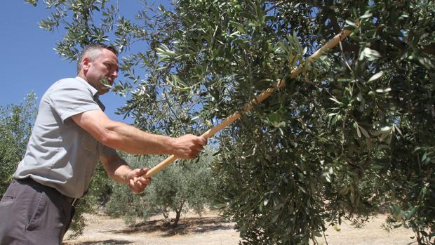 Un hombre varea un olivo en un campo de la provincia de Córdoba