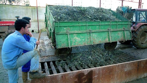 Un camión descarga la aceituna en una almazara