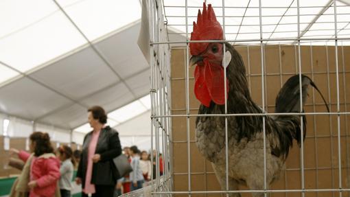 Un gallo en una de las ediciones de Avicor