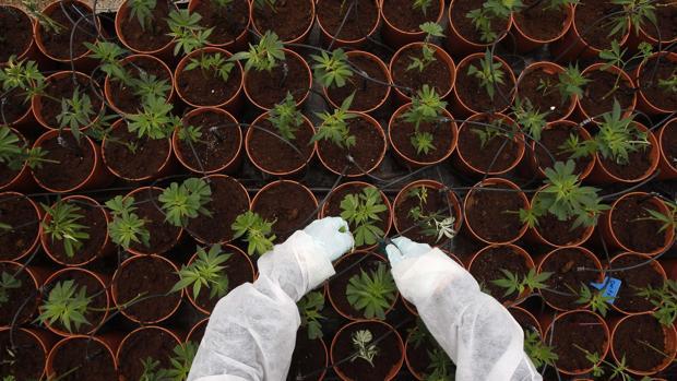 Un científico analiza una plantación de cannabis