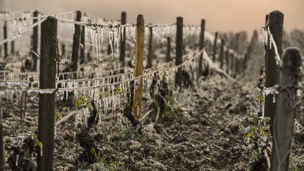 Viñedos destruidos por las heladas de finales del pasado abril en el norte de Francia