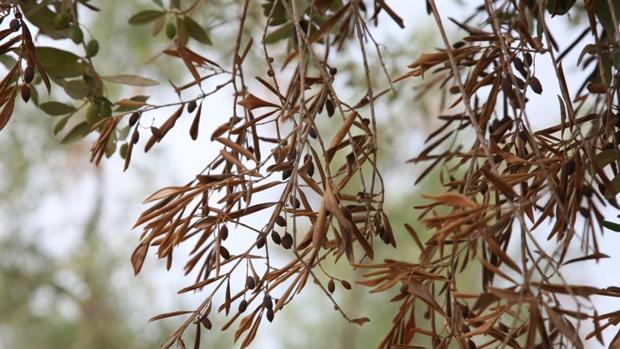 Olivo afectado por la xylella fastidiosa