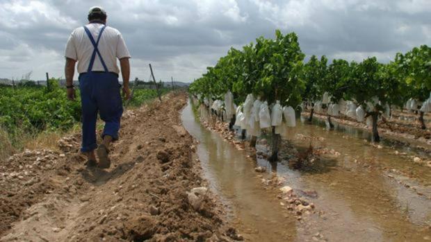 Un agricultor camina junto a los plantones