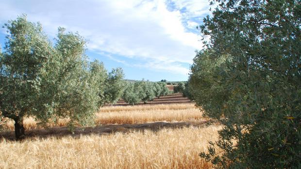 Olivar en la provincia de Córdoba