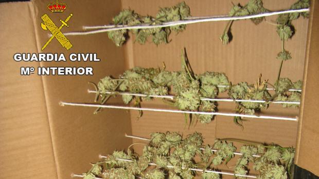 Parte de la marihuana decomisada en la operación