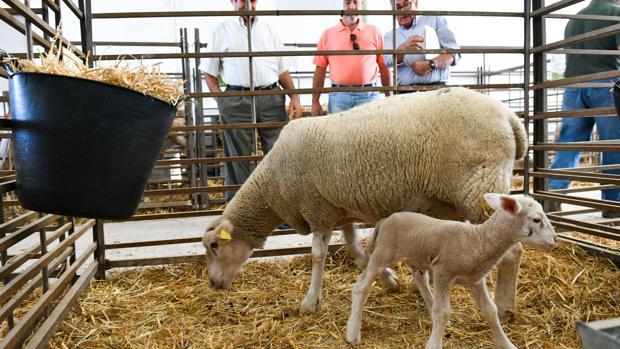 Una oveja con su cría en la feria agroganadera de Agrovap, en Torrecampo
