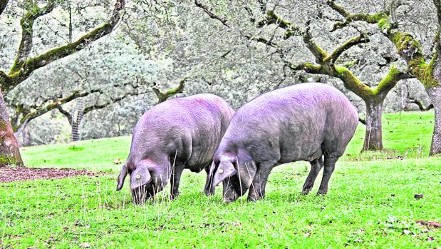 Dos cerdos ibéricos en la dehesa de Córdoba