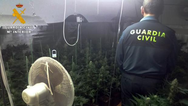 Plantas intervenidas por la Guardia Civil