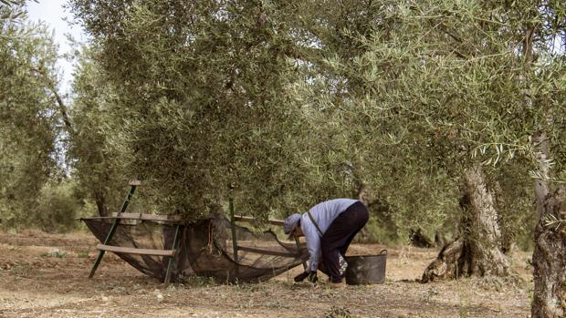 Recogida de aceituna en el campo andaluz