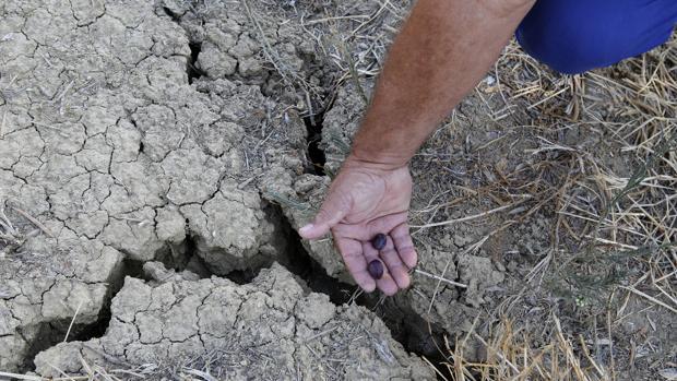 Imagen de un olivar en Córdoba afectado por la sequía