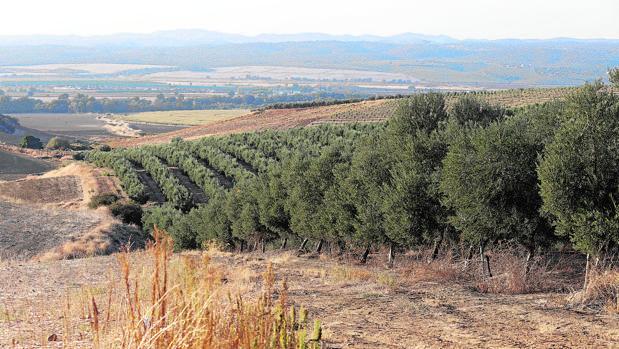 Campos de olivar en la provincia de Córdoba