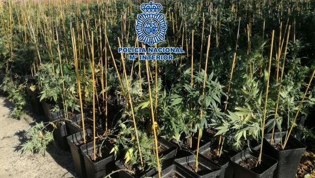 Plantas intervenidas en la operación policial