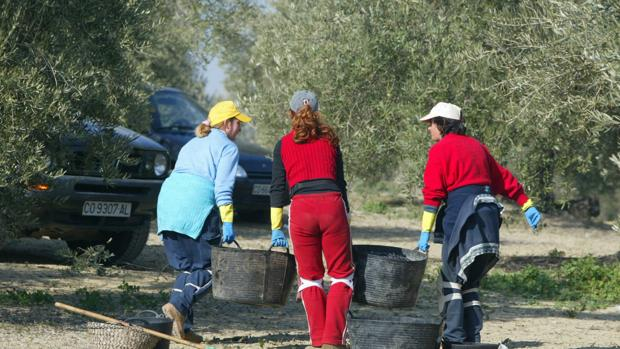 Mujeres en la recolección de aceitunas cordobesas
