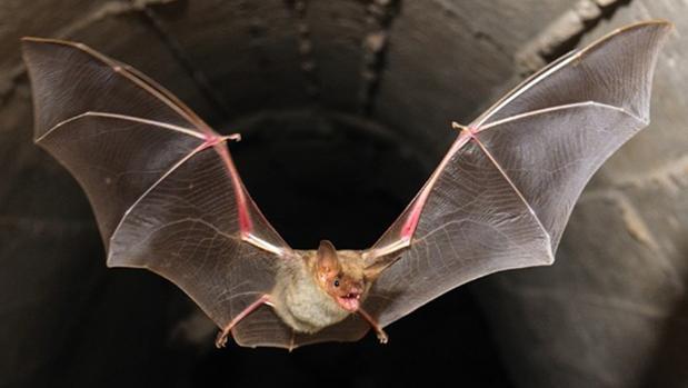 El murciélago se encuentra bajo un «régimen de protección especial»