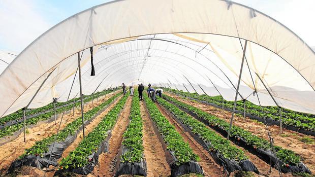 Cultivo de fresas bajo abrigo