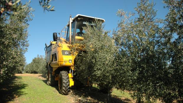 Un tractor trabajando en un olivar