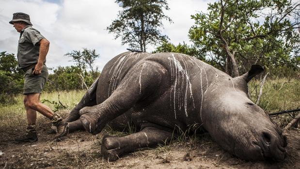Guardas de un parque de Sudáfrica preparan el cuerpo sin vida de un rinoceronte abatido por furtivos