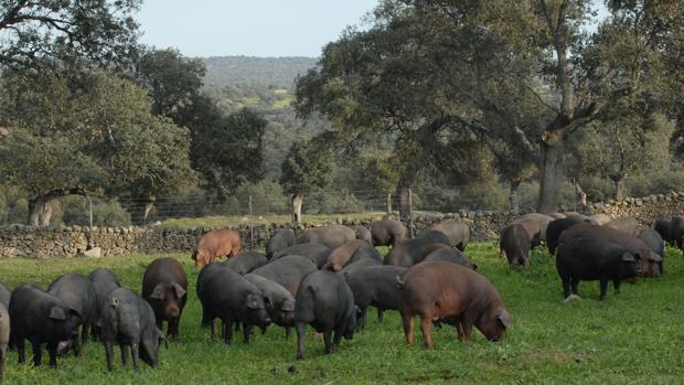 Cerdos pastando en Los Pedroches