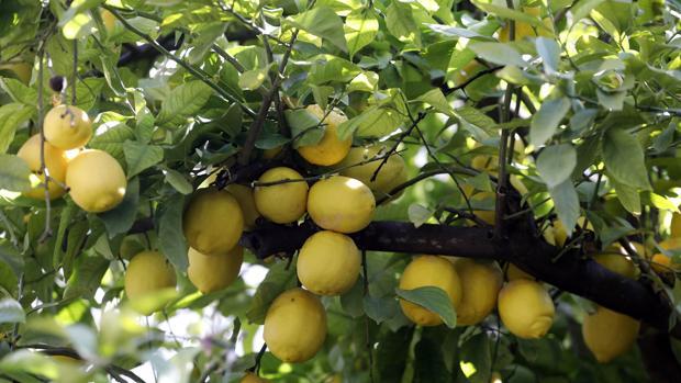 El magnífico limonero ha cumplido 160 años