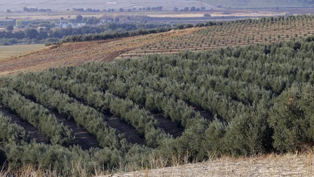 Olivares en plena campiña de Córdoba