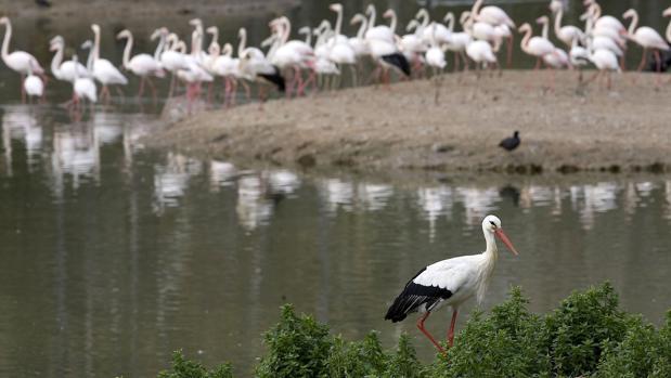 Una cigueña y un grupo de flamencos en la Cañada de los Pájaros